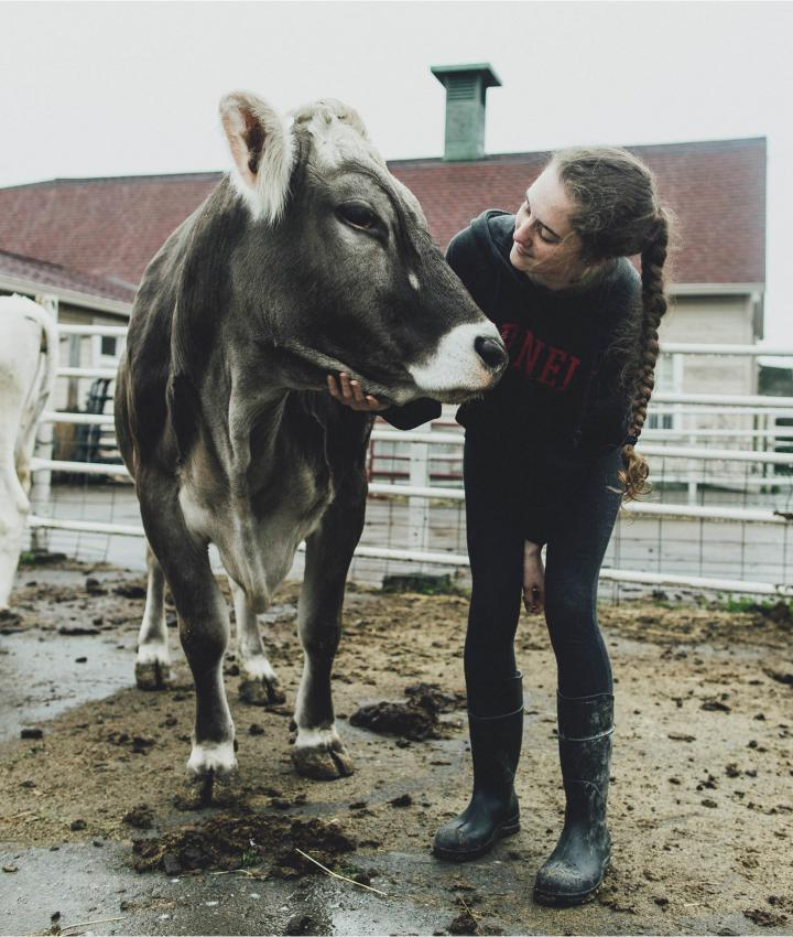 Cornell student petting a cow